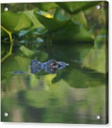 Lurking At The Surface Acrylic Print