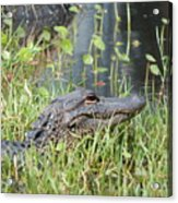 Lurking In The Grass Acrylic Print