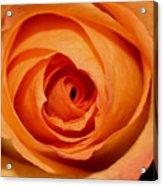 Luscious Rose Acrylic Print