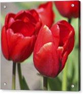 Luscious Tulips  Acrylic Print