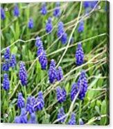 Lush Grape Hyacinth Acrylic Print