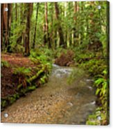 Lush Redwood Forest Acrylic Print