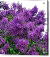 Luxurious Lilacs Acrylic Print