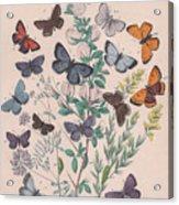 Lycaenidae Acrylic Print