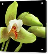 Lycaste Deppei Orchid Acrylic Print