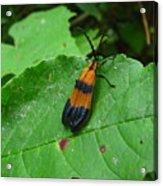 Lycomorpha Moth Acrylic Print