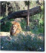Lying Lion Acrylic Print