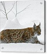 Lynx Hunting In The Snow Acrylic Print