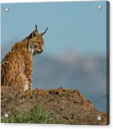 Lynx In Profile On Rock Looking Down Acrylic Print