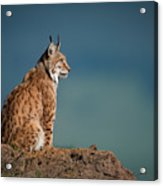 Lynx In Profile On Rock Looking Up Acrylic Print