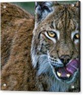 Lynx Licks Lips Acrylic Print