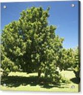 Macadamia Nut Tree Acrylic Print by Kicka Witte - Printscapes