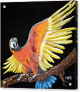 Macaw - Wingin' It Acrylic Print