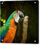 Macaw Acrylic Print