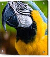 Duke Macaw Acrylic Print
