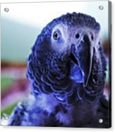 Macaw Parrot Blue Looking At You Acrylic Print