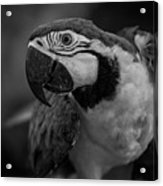 Macaw Portrait In Black And White Acrylic Print