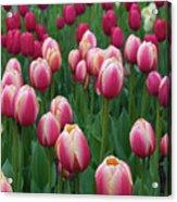 Mackinac Island Tulips 10681 Acrylic Print