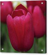 Macknac Island Tulips 10393 Acrylic Print