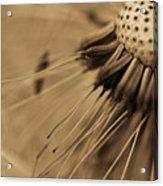 Macro - Dandelion Acrylic Print