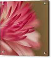 Macro - Pink Flower Acrylic Print