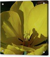 Macro Of A Flowering Yellow Tulip Up Close Acrylic Print