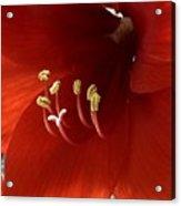 Macro Of Red Amaryllis Flower Acrylic Print