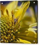 Macro Pollinating Fly Acrylic Print