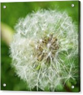 macro shot of a beautiful Dandelion. Acrylic Print
