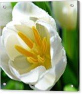 Macros White Tulip May-2011 Acrylic Print
