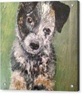 Macy As A Puppy Acrylic Print