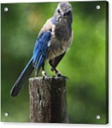 Mad Bird Acrylic Print