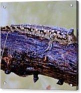 Madagascar Mudskipper Acrylic Print