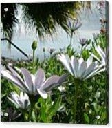 Madeira Daisies Acrylic Print