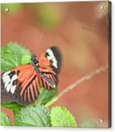 Madiera Butterflies Acrylic Print