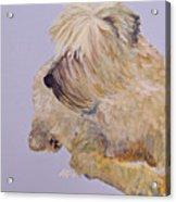 Madigan Wheaten Terrier Acrylic Print