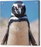 Magellanic Penguin In Argentina Acrylic Print