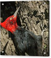 Magellanic Woodpecker - Patagonia Acrylic Print