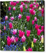 Magenta And White Tulips Acrylic Print
