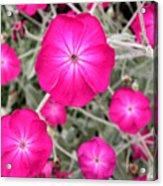 Magenta Blooms Acrylic Print