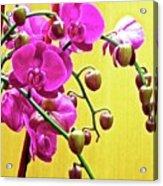 Magenta Orchid 3 Acrylic Print