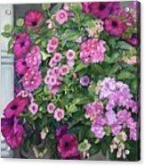 Magenta Petunias Acrylic Print