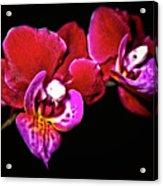 Magenta Phaleonopsis Orchid Acrylic Print