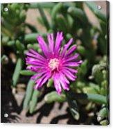 Magenta Purple Desert Moss Rose Acrylic Print