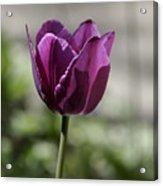 Magenta Tulip Squared Acrylic Print