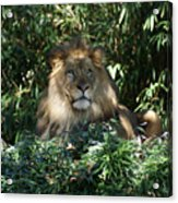 Magestic Lion Acrylic Print