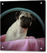 Maggie In A Basket Acrylic Print