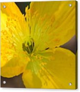 Magic Of The Golden Poppy Acrylic Print