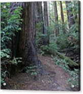 Magical Path Through The Redwoods On Mount Tamalpais Acrylic Print