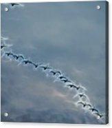 Magical Tundra Swan Fly-over Acrylic Print